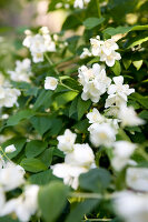 Bildno.: 11135598<br/><b>Feature: 11135587 - Late Summer Romance</b><br/>Jasmine with its intoxicating scent can turn the garden into a bit of paradise<br />living4media / Nordstrom, Annette