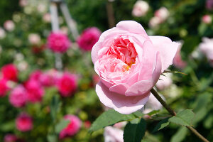 Bildno.: 11263994<br/><b>Feature: 11263941 - Rich in Roses</b><br/>Italian rose garden is a treasure trove of fragrent old fashioned roses<br />living4media / Kompatscher, Anneliese