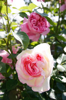 Bildno.: 11263998<br/><b>Feature: 11263941 - Rich in Roses</b><br/>Italian rose garden is a treasure trove of fragrent old fashioned roses<br />living4media / Kompatscher, Anneliese