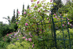 Bildno.: 11264008<br/><b>Feature: 11263941 - Rich in Roses</b><br/>Italian rose garden is a treasure trove of fragrent old fashioned roses<br />living4media / Kompatscher, Anneliese