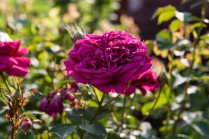 Bildno.: 11264038<br/><b>Feature: 11263941 - Rich in Roses</b><br/>Italian rose garden is a treasure trove of fragrent old fashioned roses<br />living4media / Kompatscher, Anneliese