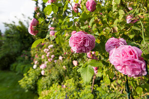 Bildno.: 11264040<br/><b>Feature: 11263941 - Rich in Roses</b><br/>Italian rose garden is a treasure trove of fragrent old fashioned roses<br />living4media / Kompatscher, Anneliese