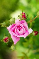 Bildno.: 11271960<br/><b>Feature: 11271958 - Swedish Garden</b><br/>Garden in Lynga<br />living4media / M&#246;ller, Cecilia