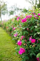 Bildno.: 11271978<br/><b>Feature: 11271958 - Swedish Garden</b><br/>Garden in Lynga<br />living4media / M&#246;ller, Cecilia