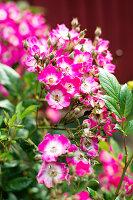 Bildno.: 11272026<br/><b>Feature: 11271958 - Swedish Garden</b><br/>Garden in Lynga<br />living4media / M&#246;ller, Cecilia