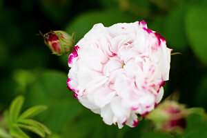 Bildno.: 11272036<br/><b>Feature: 11271958 - Swedish Garden</b><br/>Garden in Lynga<br />living4media / M&#246;ller, Cecilia