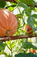 Bildno.: 11345900<br/><b>Feature: 11345897 - Pumpkin Party</b><br/>Pumpkins and Jack-o&#39;-Lanterns<br />living4media / Klazinga, Jansje