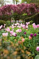 Bildno.: 11428722<br/><b>Feature: 11428706 - Tulip Time</b><br/>Spring garden in The Netherlands<br />living4media / Pietrek, Sibylle