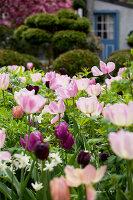Bildno.: 11428732<br/><b>Feature: 11428706 - Tulip Time</b><br/>Spring garden in The Netherlands<br />living4media / Pietrek, Sibylle