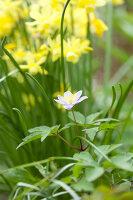 Bildno.: 11428734<br/><b>Feature: 11428706 - Tulip Time</b><br/>Spring garden in The Netherlands<br />living4media / Pietrek, Sibylle
