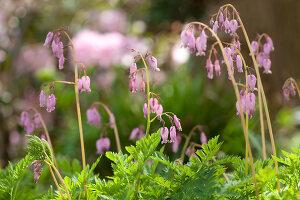 Bildno.: 11428742<br/><b>Feature: 11428706 - Tulip Time</b><br/>Spring garden in The Netherlands<br />living4media / Pietrek, Sibylle