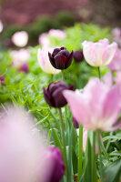 Bildno.: 11428744<br/><b>Feature: 11428706 - Tulip Time</b><br/>Spring garden in The Netherlands<br />living4media / Pietrek, Sibylle