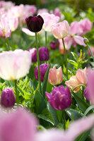Bildno.: 11428746<br/><b>Feature: 11428706 - Tulip Time</b><br/>Spring garden in The Netherlands<br />living4media / Pietrek, Sibylle
