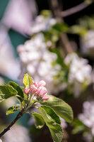Bildno.: 11453612<br/><b>Feature: 11453608 - Tea in the Garden</b><br/>Summertime is garden tea time in the United Kingdom<br />living4media / Heinze, Winfried