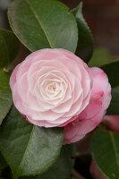 Bildno.: 12084140<br/><b>Feature: 12084103 - Shrubbery Deluxe</b><br/>Blooming garden in L&#246;hne, Germany<br />living4media / Pietrek, Sibylle
