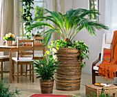 cycas revoluta sagopalme unterpflanzt mit epipremnum. Black Bedroom Furniture Sets. Home Design Ideas