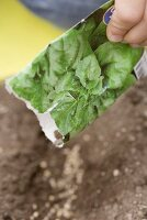 Child sowing spinach seeds in soil (close-up)