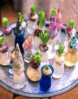 Various hyacinths in glasses with budding flowers and colourful decorative cones