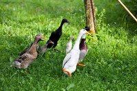 Runner ducks in a field