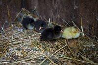 Runner duck chicks in a nest