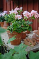 Pink geraniums on rustic wooden table in front of house