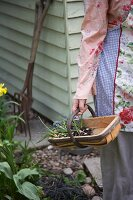 Woman carrying wooden trug with grape hyacinths