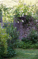 Garden wall with large garden gate and blooming roses