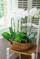 White orchids in wide raffia basket on rush-seated, farmhouse chair