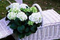 Hydrangeas in a picnic basket