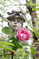 Pink rose in front of statue in garden