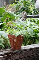 A vegetable plant in part being watered