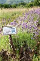 Field of lavender with identification label