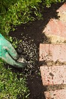 Sowing grass seed in the earth around a flower bed border