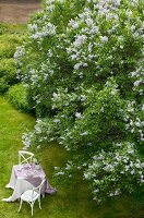 Set table on lush green lawn below profusely flowering lilac