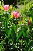 Three pink tulips in various stages of flowering