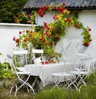 Set table and chairs next to white-painted house with climbing roses
