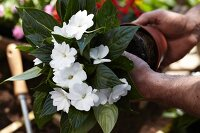 Hands removing Impatiens from plant pot