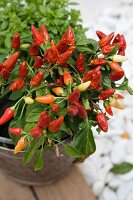 Chilli plant in zinc bucket