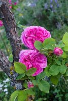 Bourbon roses (old rose variety)