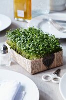 Cress in newspaper tray