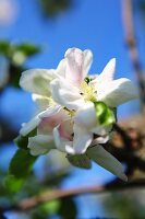 White apple blossom against a blue sky