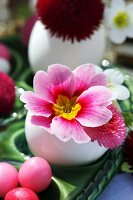Pink primula and bellis flowers in Easter egg shell