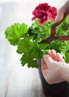Taking pelargonium cuttings