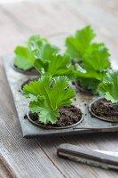 Single pelargonium leaf cuttings in propagator tray