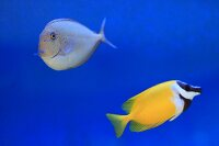 Two marine fish in aquarium