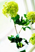 Lime-green viburnum flowers in vase on windowsill