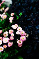 Pink daisies, close-up