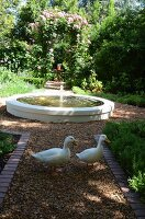 Pair of white ducks on garden path leading to fountain in round concrete basin