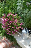 Zinc watering can next to flowering scented pelargonium in garden