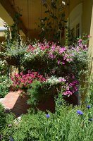 Cornflowers in front of veranda with flowering petunias in baskets suspended from ceiling